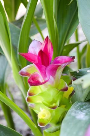 siam: Siam Tulip flower in garden