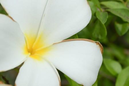 close up pluemeria flower