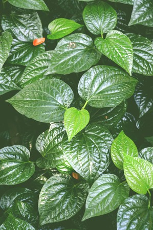 piper: Wild Betel Leafbush tree in garden , Piper sarmentosum Roxb
