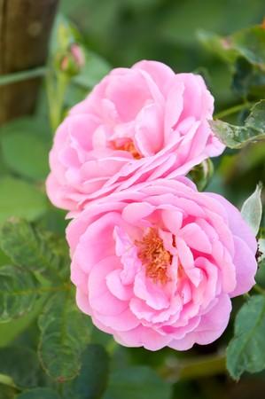 roze damast roze bloem in de tuin Stockfoto
