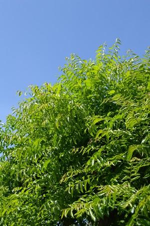 neem: Neem plan tree in garden Azadirachta indica