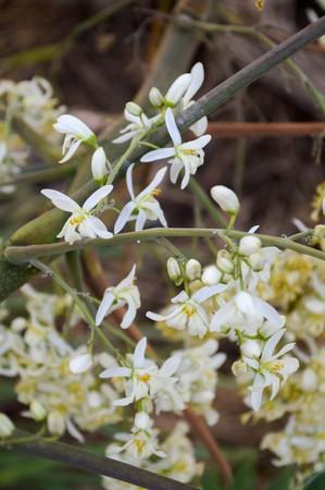 moringa: moringa oleifera flower in nature garden
