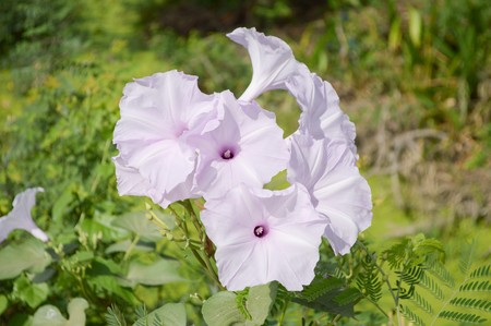 convolvulaceae: Bush Morning Glory flower in garden