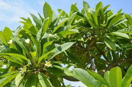 plumeria tree in garden
