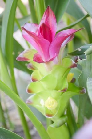 Siam Tulip flower in garden