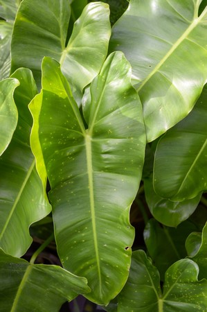 chlorophyll: green Philodendron leaves in garden