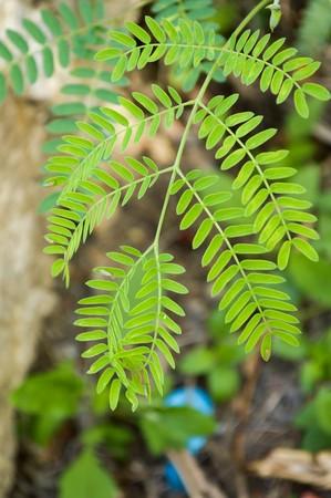 green acacia leaves in garden - Acacia auriculiformis Cunn.
