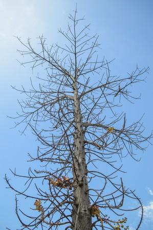 dead tree: dry branch dead tree on blue sky