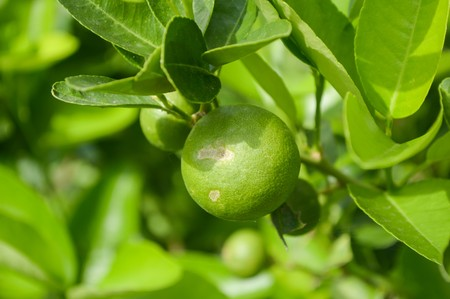 lime tree: fresh lime tree in garden