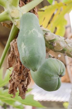green papaya: green papaya in garden