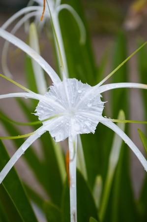 perennials: Schnhutchen Hymenocallis latifolia flower in garden Stock Photo