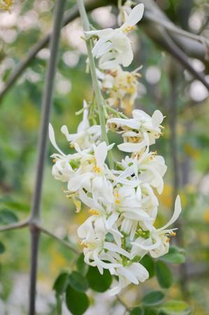 oleifera: moringa oleifera flower in nature garden