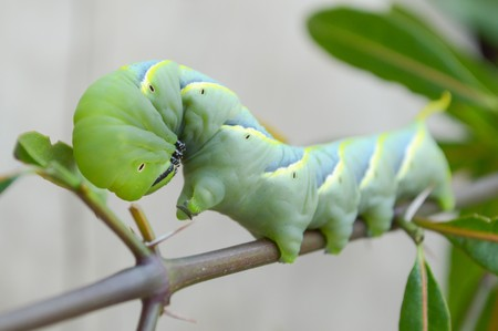 limb: green caterpillar on limb , Pergesa acteus