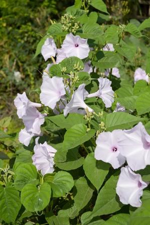 정원에서 부시 나팔꽃 꽃
