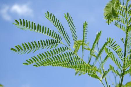 acacia tree in garden , Acacia auriculiformis Cunn