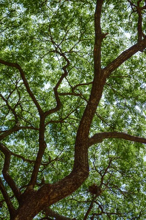 large tree: large branch tree in garden Stock Photo