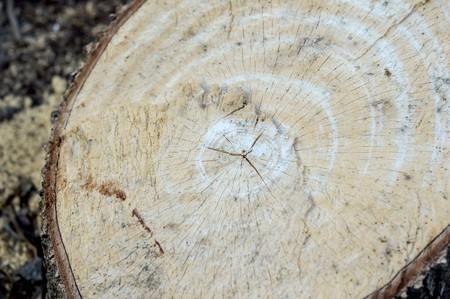 amputation: dry stump tree in garden