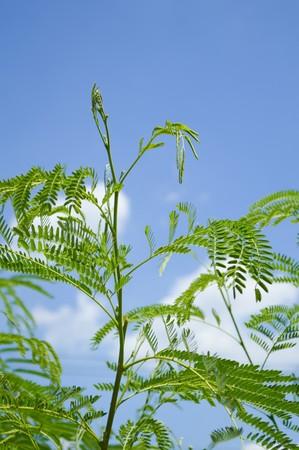 green acacia tree in garden , Acacia auriculiformis Cunn
