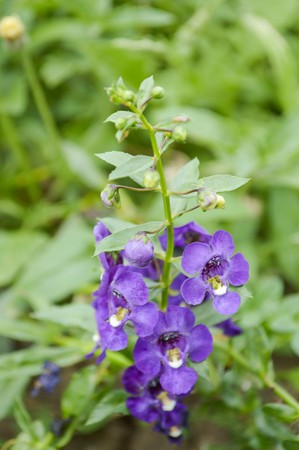 forget: purple Forget me not flower in garden , Angelonia goyazensis Benenth. Stock Photo