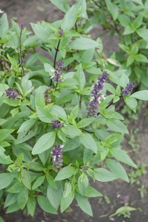 linn: sweet basil tree in garden - Ocimum basilicum Linn