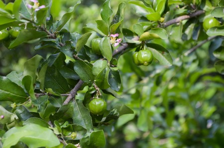 plant antioxidants: green acerola cherry tree in garden Stock Photo