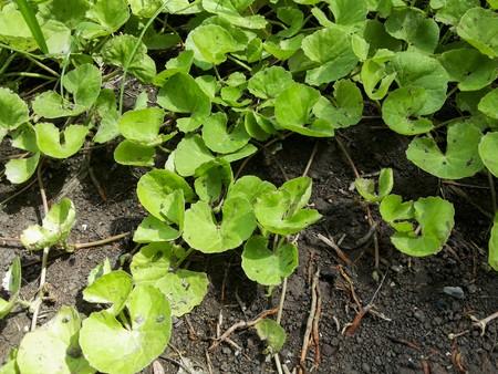 asiatica: green centella asiatica tree in garden