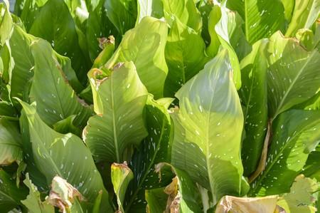 dumb: green Dumb Cane leaves in garden Stock Photo
