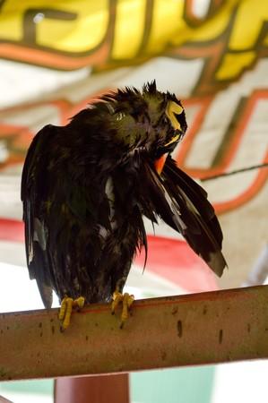 common myna bird: common hill myna bird Stock Photo