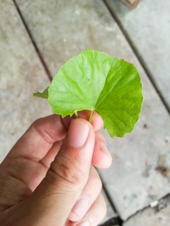 asiatica: green centella asiatica leaves on man hand