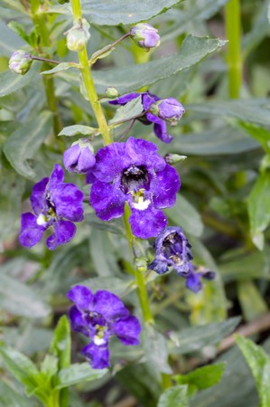 forget me not: purple Forget me not flower in garden , Angelonia goyazensis Benenth. Stock Photo