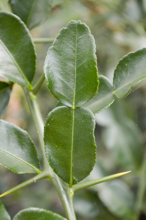 trees with thorns: green kiffir lime leaves in garden, citrus hystrix DC.