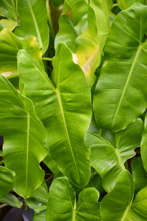 chlorophyl: green Philodendron leaves in garden
