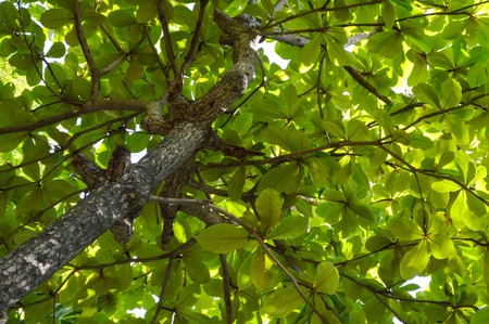 green of Tropical almond tree