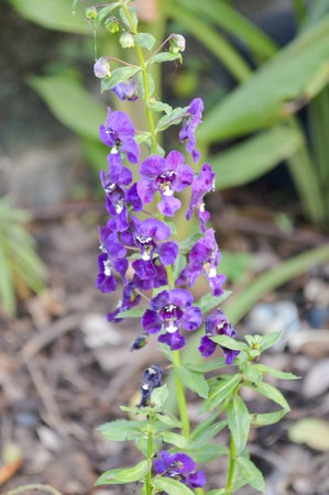forget me not: purple Forget me not flower in garden , Angelonia goyazensis Benenth