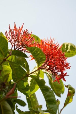 red Ixora coccinea flower in garden