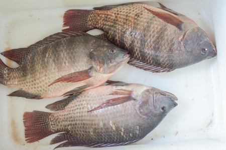 white nile: nile tilapia fish on white enamelware