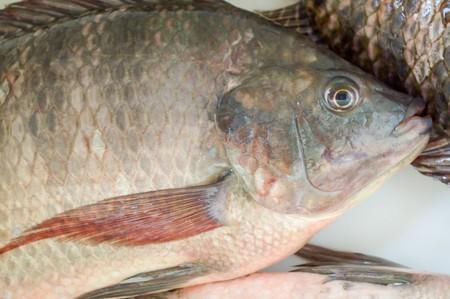 the nile: nile tilapia fish