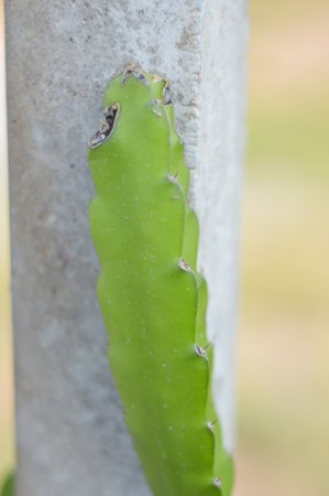 trees with thorns: green cactus tree in garden Stock Photo