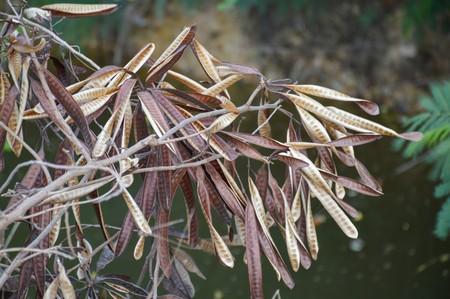 close up dry acacia seed