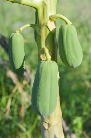 green papaya: green papaya tree in vegetable garden Stock Photo