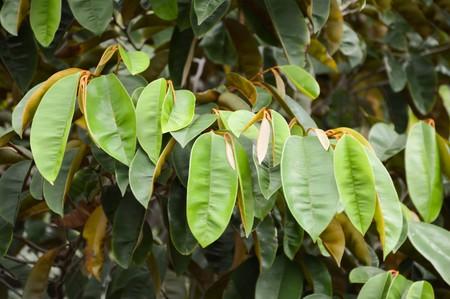rufa: uvaria rufa leaves Stock Photo