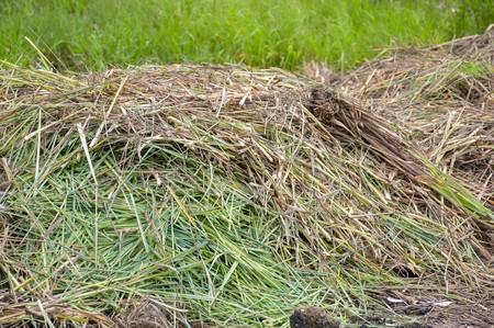 lemon grass: dry lemon grass leaves on the ground in nature garden Stock Photo