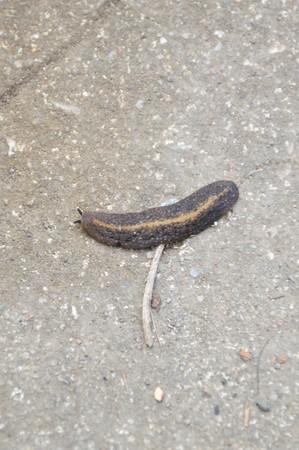 babosa: Slug en el piso de cemento