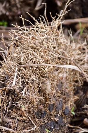 dry roots lemongrass