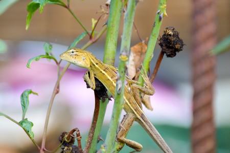 lagarto: camale�n en el jard�n de la naturaleza