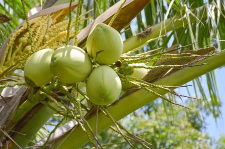 cocos: coconut tree in garden , Cocos nucifera
