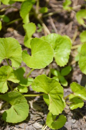 asiatica: green centella asiatica tree in vegetable garden