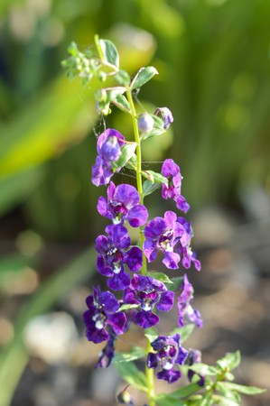 forget: purple Forget me not flower in garden , Angelonia goyazensis Benenth
