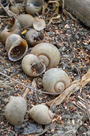channeled: Channeled applesnail on the ground - Pomacea canaliculata Stock Photo