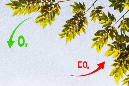 Photosynthese in Pflanzen Standard-Bild